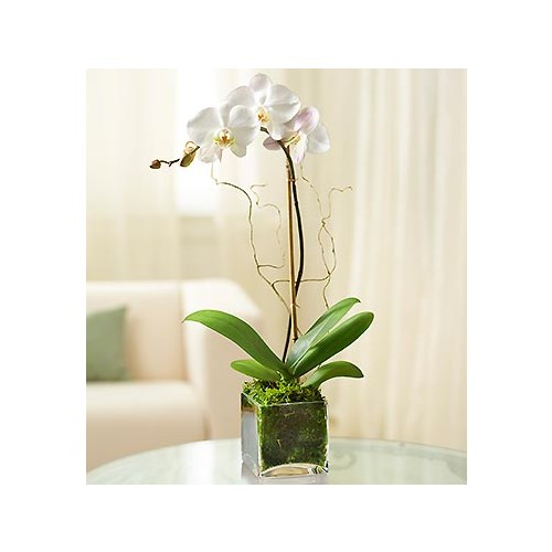 Local florist hot springs ar same day delivery lake hamilton 1 800 flowers white phalaenopsis orchid mightylinksfo